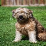 Why My Goldendoodle Is the Best Marriage Counselor